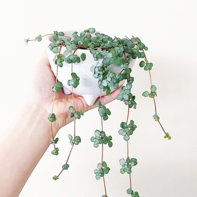 Pilea GREYZY -drobne srebrzysto-zielone liście