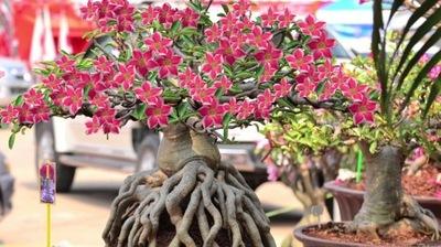 Саженцы Адениум Obesum Arabicum. роза в Пустыне.