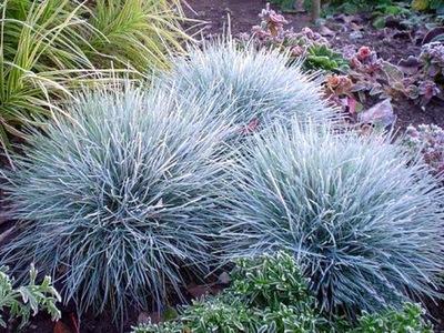 Овсяница голубая ELIJAH BLUE низкая синяя трава