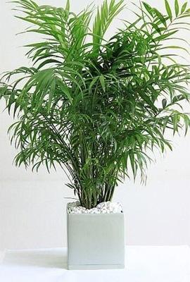 Большая Красивая Пальма Chamaedorea Elegans Chamedora