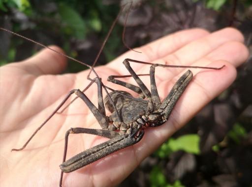 Damon medius. Pajęczaki / pająki