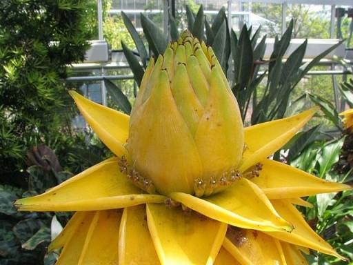 Bananowiec Musella lasiocarpa Kwiat Lotosu P12