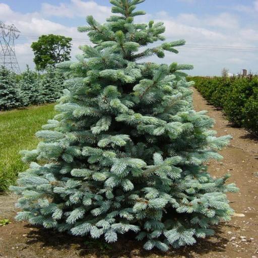 Gk Swierk Srebrny Klujacy Picea Omorica 9639096271 Allegro Pl