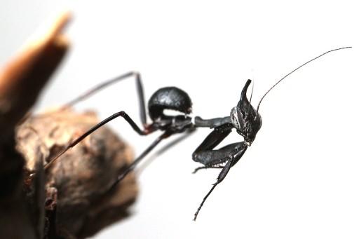 Phyllocrania paradoxa Modliszka Duch