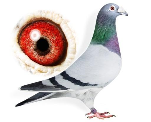 Gołębie pocztowe od Wielokrotnego Mistrza