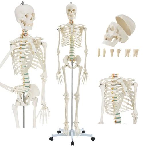 Szkielet Model Statyw Anatomiczny Czlowieka 181cm 9925829461 Allegro Pl